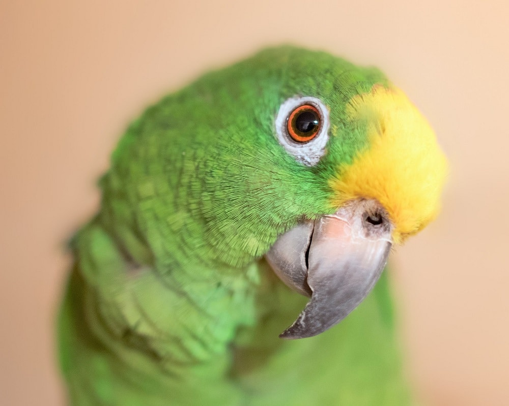 Close up of curious yellow-fronted Amazon parrot