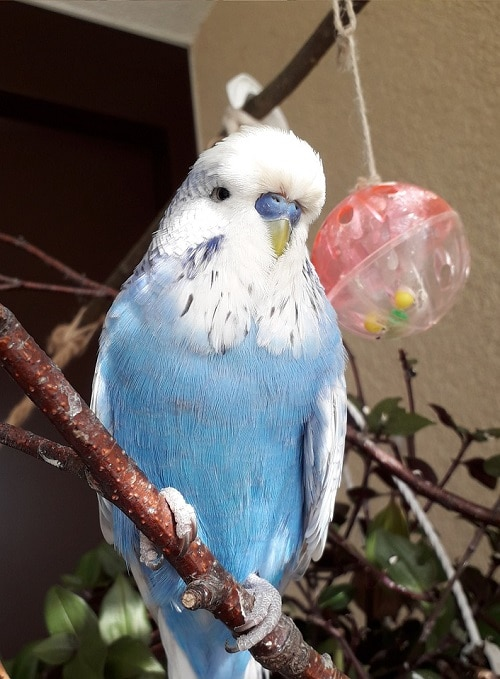 Male blue budgie perched on branch. | Guide to what parrots talk