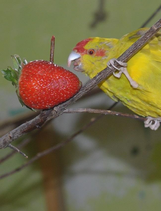 Yellow kakariki parakeet eating strawberry. | Guide to what parakeets eat
