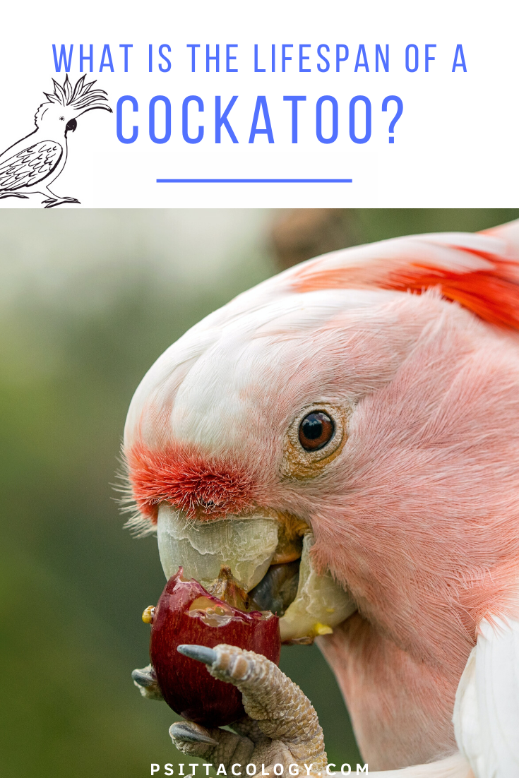 Major Mitchell's cockatoo eating a grape. | Guide to the lifespan of a cockatoo