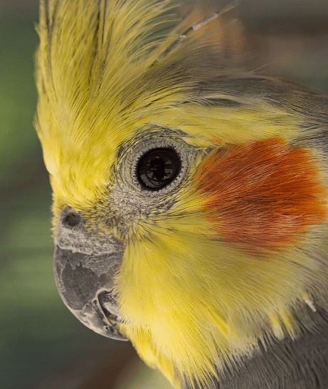 Close-up of male cockatiel parrot with yellow face.