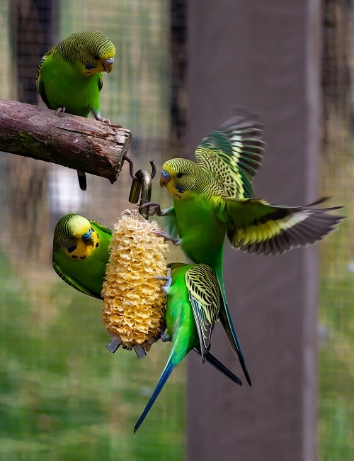 Four green budgie parrots in aviary environment eating an ear of corn. | Guide on what parakeets eat