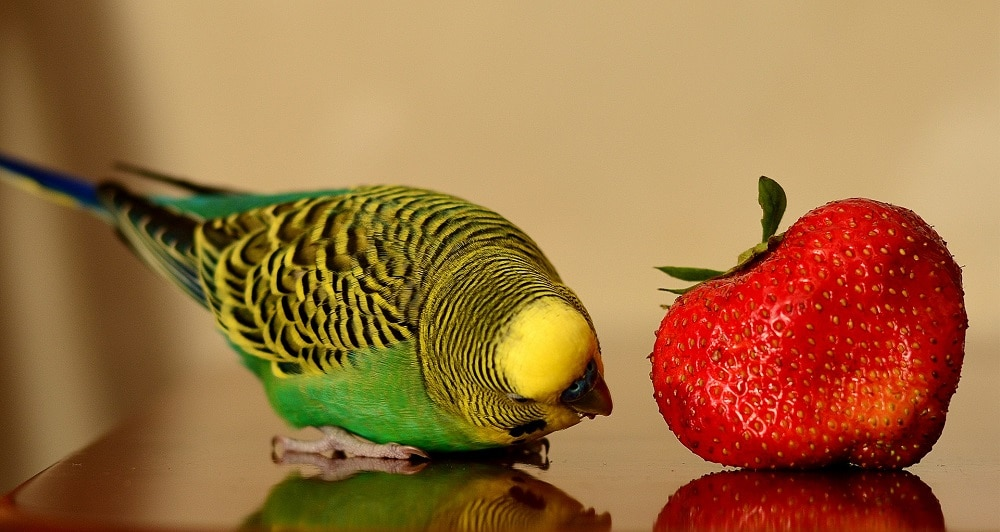 Wild color budgie parakeet on reflective surface inspecting a large strawberry.