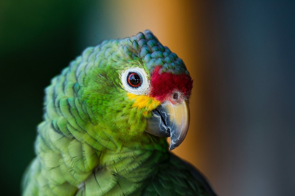 Close-up of green parrot with red and yellow face.