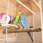 Green and blue budgerigars interacting in their cage | Guide to calcium blocks for parrots