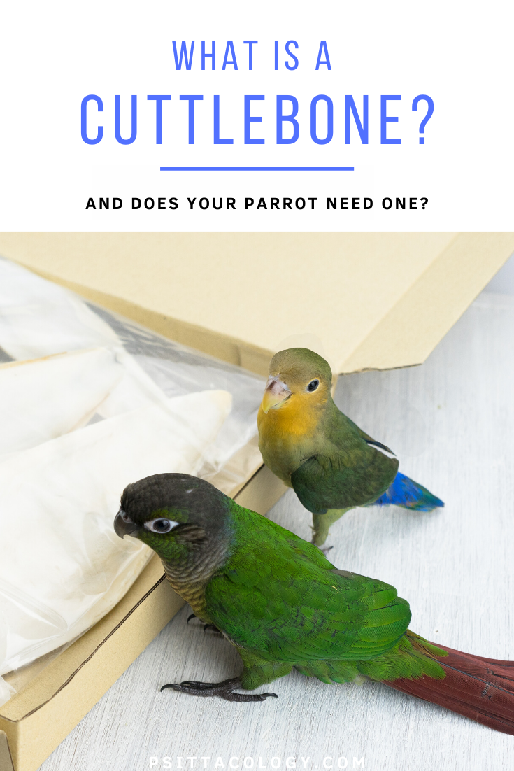 A conure parrot and a lovebird observing a box full of cuttlebone | What is cuttlebone?