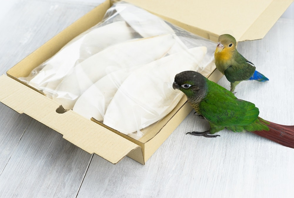 Conure parrot and lovebird observing a box full of cuttlebone.