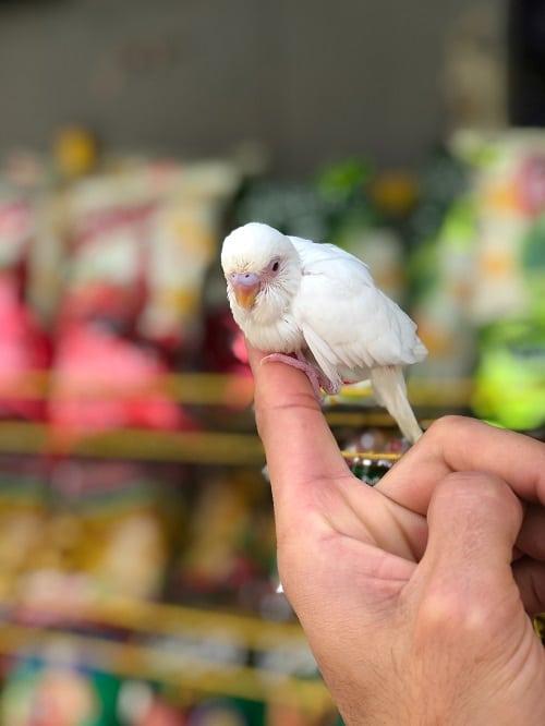 Juvenile white budgie parakeet sitting on human index finger. | Guide to parakeet lifespan