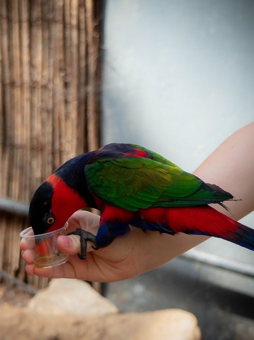 Black capped lorikeet drinking nectar from a cup held by human hand | What do parrots eat? Parrot diet guide