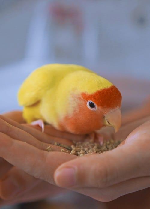 Peach faced lovebird sitting on human hand eating parrot pellets