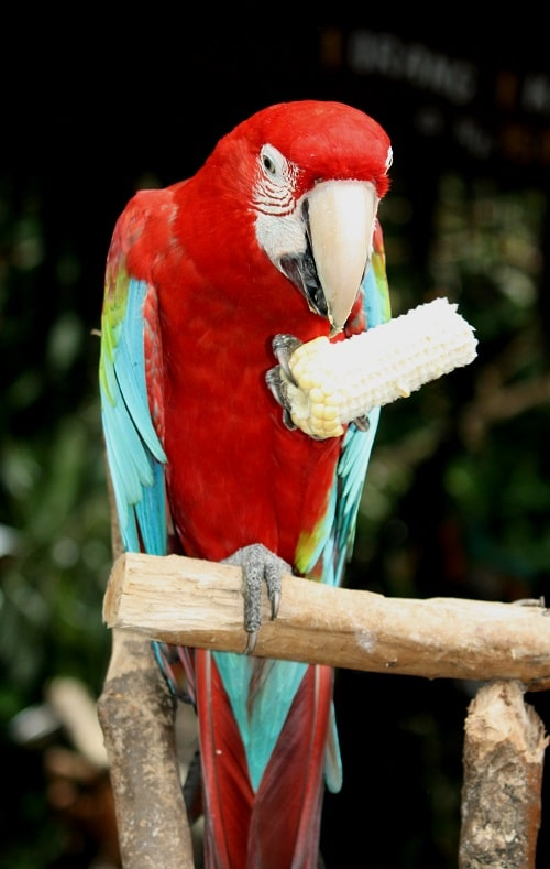 Red and blue macaw parrot holding and eating corn on the cob.