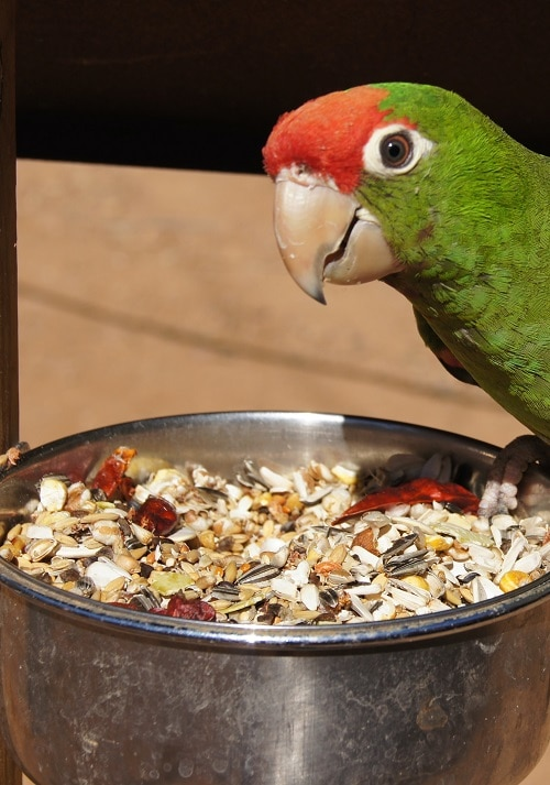 Red headed conure parrot sitting on metal food bowl filled with seed mix.