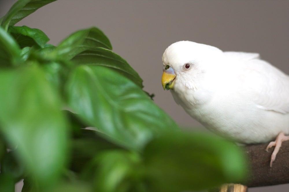 White budgerigar parakeet eating basil leaves | What do parrots eat? Guide to parrot diet