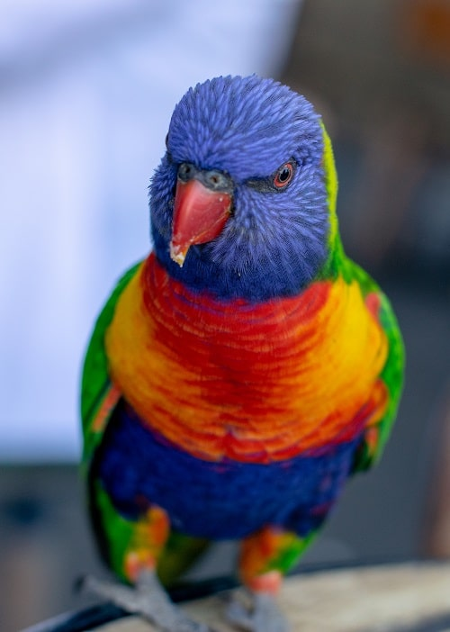 Shallow focus photo of curious looking lorikeet parrot. | What is a lory? Lories vs lorikeets
