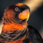 Headshot of a dusky lory parrot.