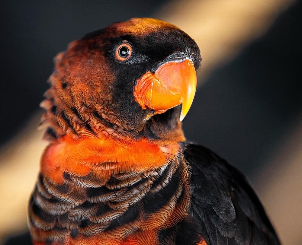 Headshot of a dusky lory parrot.