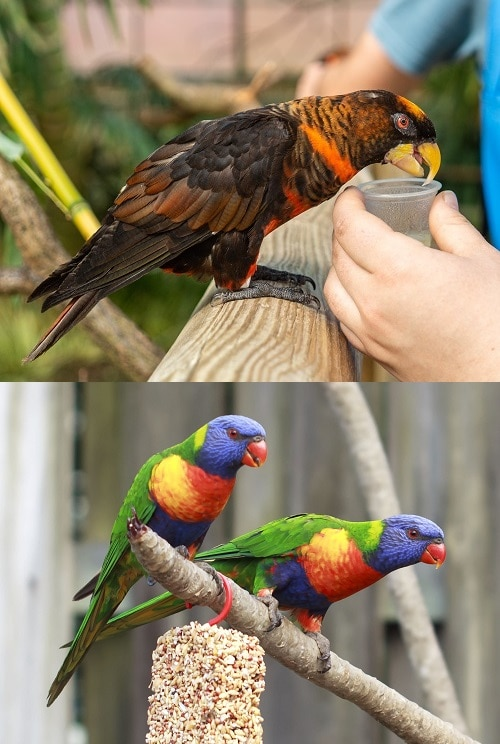 Two photos merged together: dusky lory parrot drinking from a nectar cup at the top, two curious rainbow lorikeets perched on a branch at the bottom. To show the difference between lories and lorikeets.