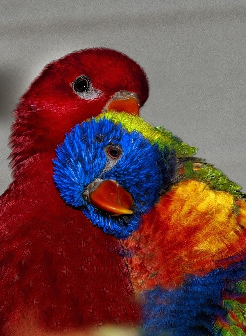 A red lory (left) and rainbow lorikeet (right) share a cuddle | What is a lory? Lories vs lorikeets