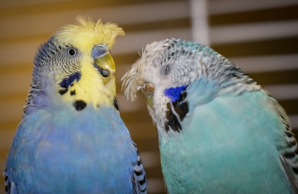 Two crested budgie parakeets