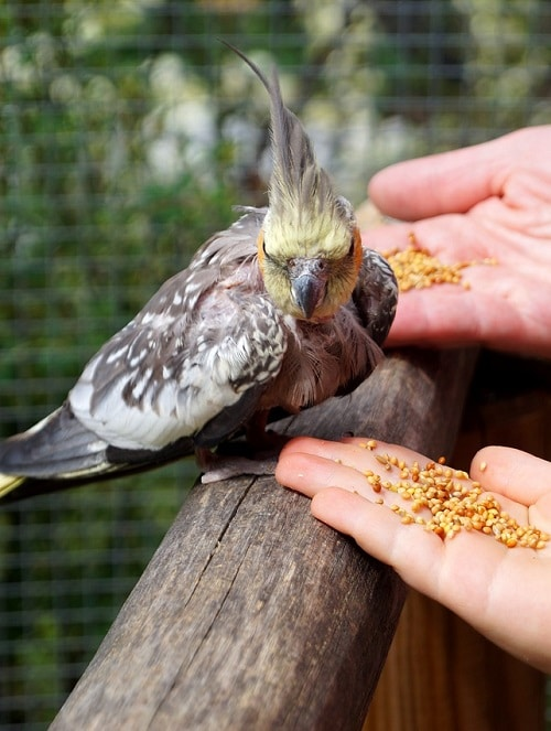 Grey cockatiel parrot being offered seed from two hands | What do cockatiels eat?