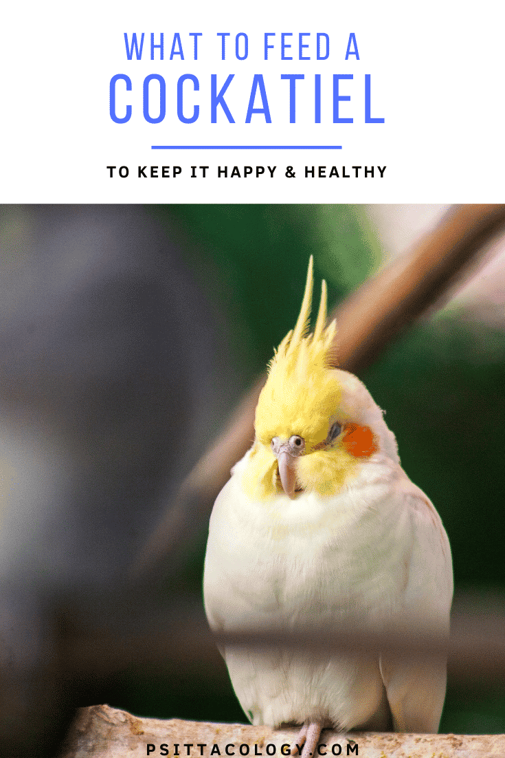 Lutino cockatiel puffed up and sleeping | What do cockatiels eat?