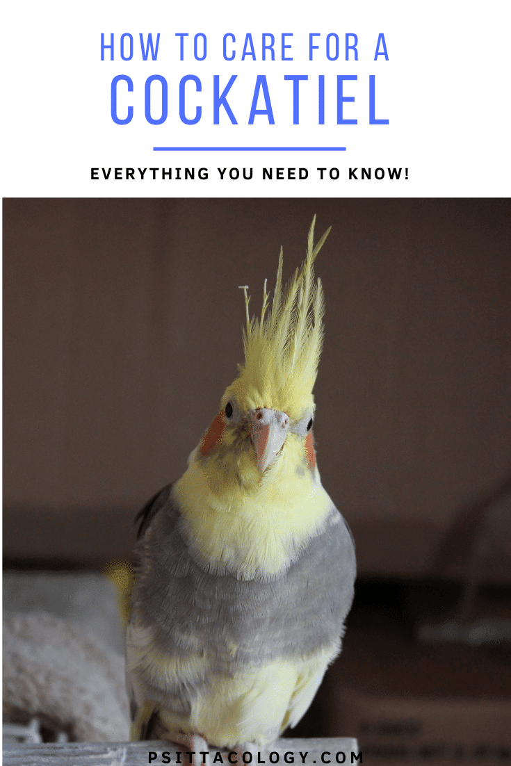 Grey cockatiel (Nymphicus hollandicus) with yellow face and erect crest. | Guide to caring for a cockatiel