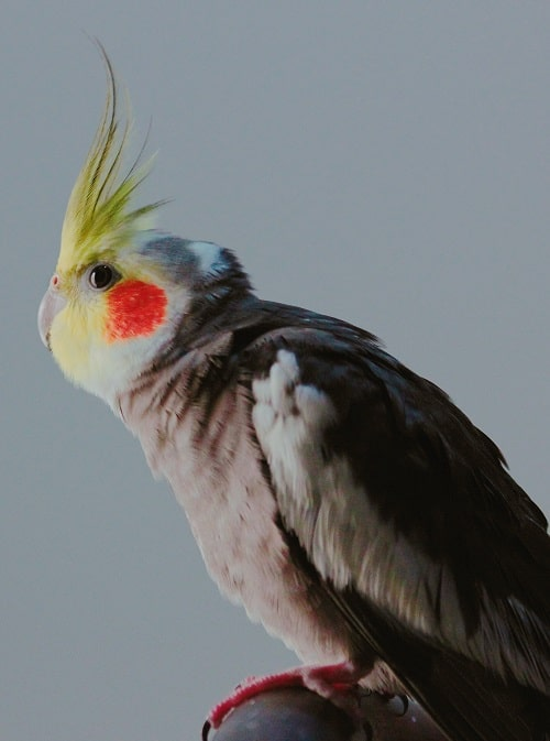 Male grey cockatiel (Nymphicus hollandicus) with yellow face and erect crest.