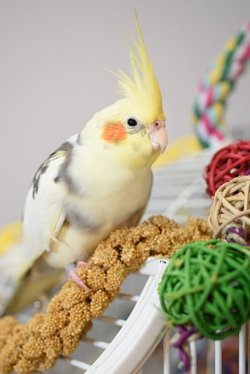 Pied cockatiel sitting on top of cage with yellow millet spray. | Guide to caring for a cockatiels