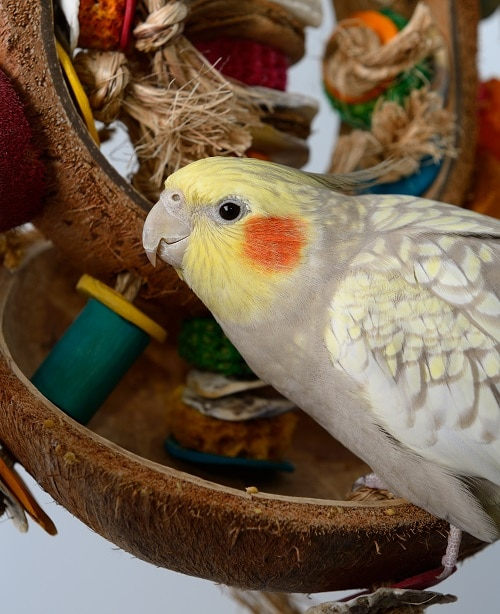 Pearl cockatiel parrot sitting on coconut toy. | Guide to caring for a cockatiel