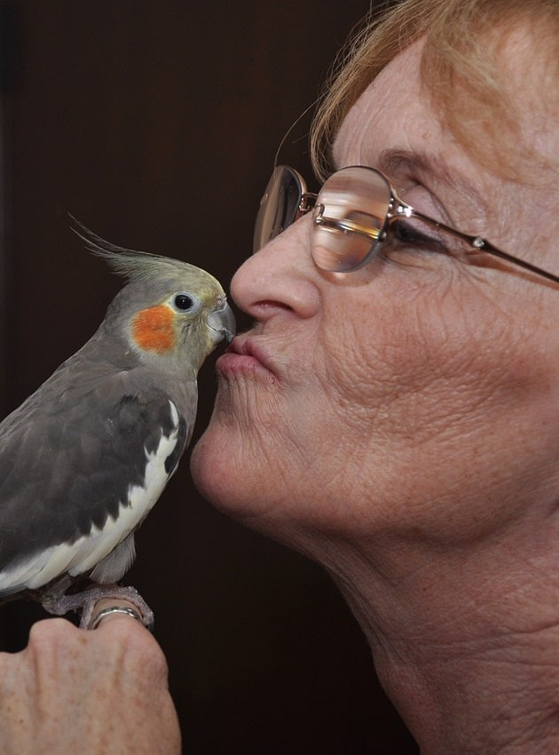 Woman kissing female grey cockatiel (Nymphicus hollandicus). | Guide to caring for a cockatiel
