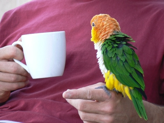 White bellied caique parrot perched on human hand, with the other hand holding a mug.