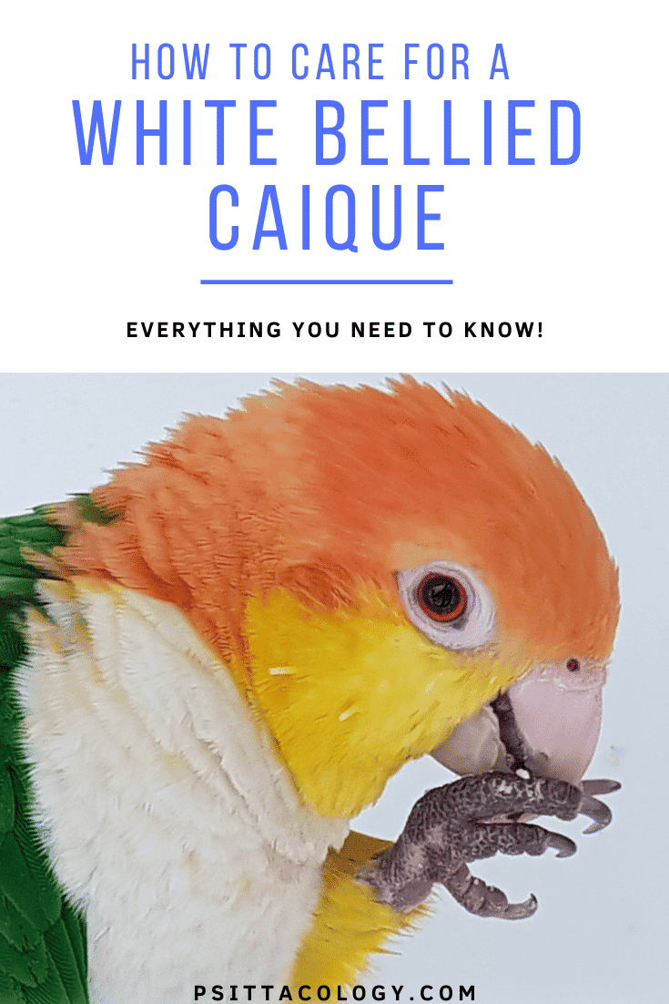 White bellied caique parrot (Pionites leucogaster), full care guide.
