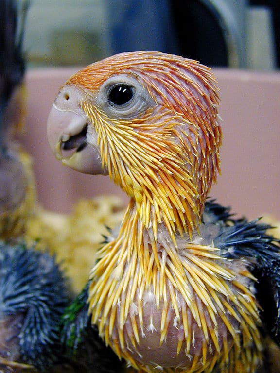 Close-up of baby Pionites leucogaster, a parrot also known as the white bellied caique.