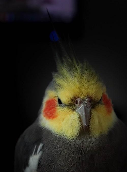 Headshot of wild type male cockatiel, a common pet parrot.