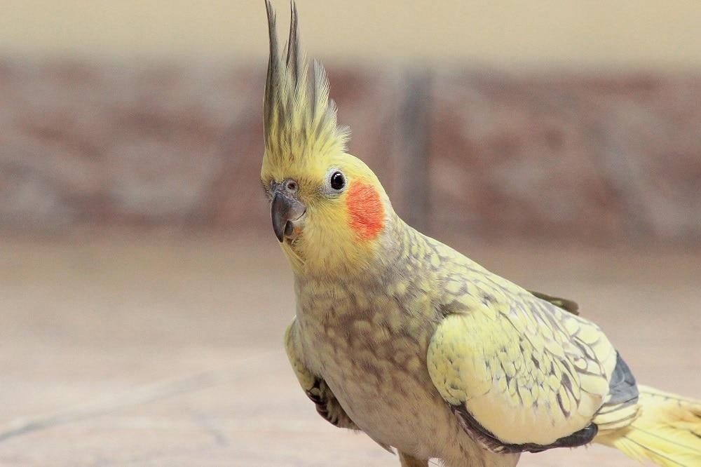 Cockatiel parrot (Nymphicus hollandicus) with erect crest.