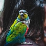 Conure parrot sitting on person's shoulder. | Guide to how to tame a parrot