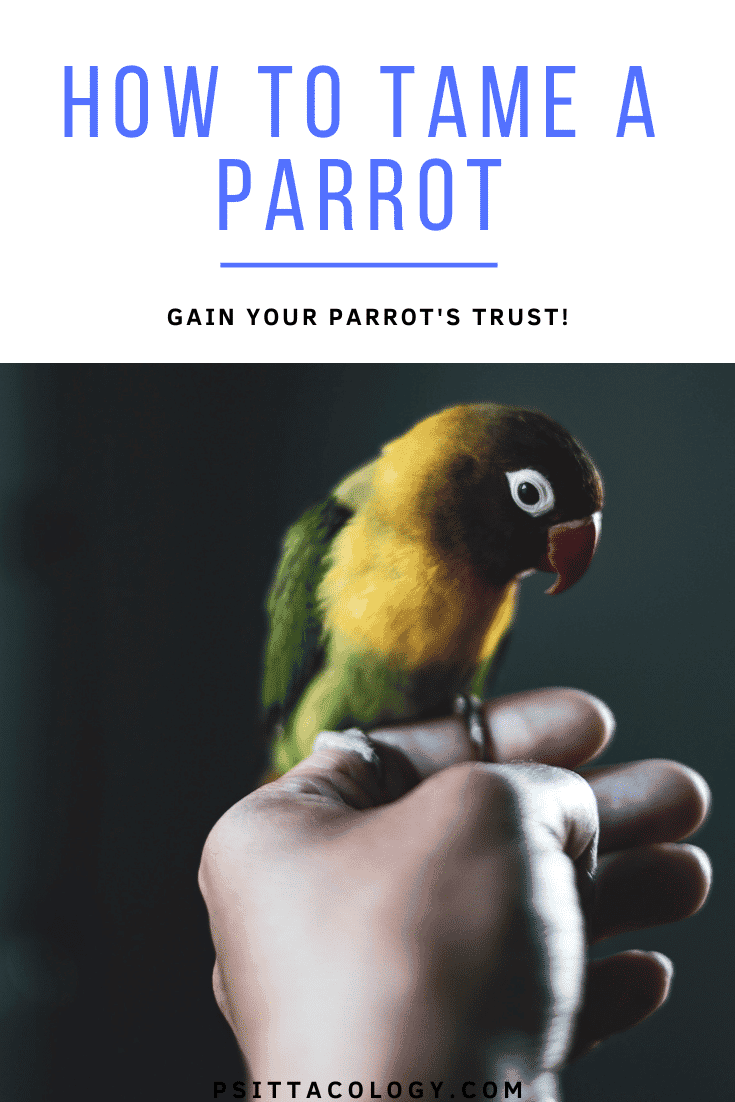 Masked lovebird (Agapornis personatus) sitting on person's index finger. | Full guide on how to tame a parrot