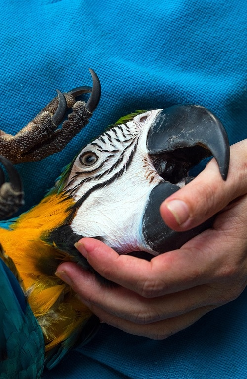 Macaw parrot held by person, gently biting their thumb with its huge beak.