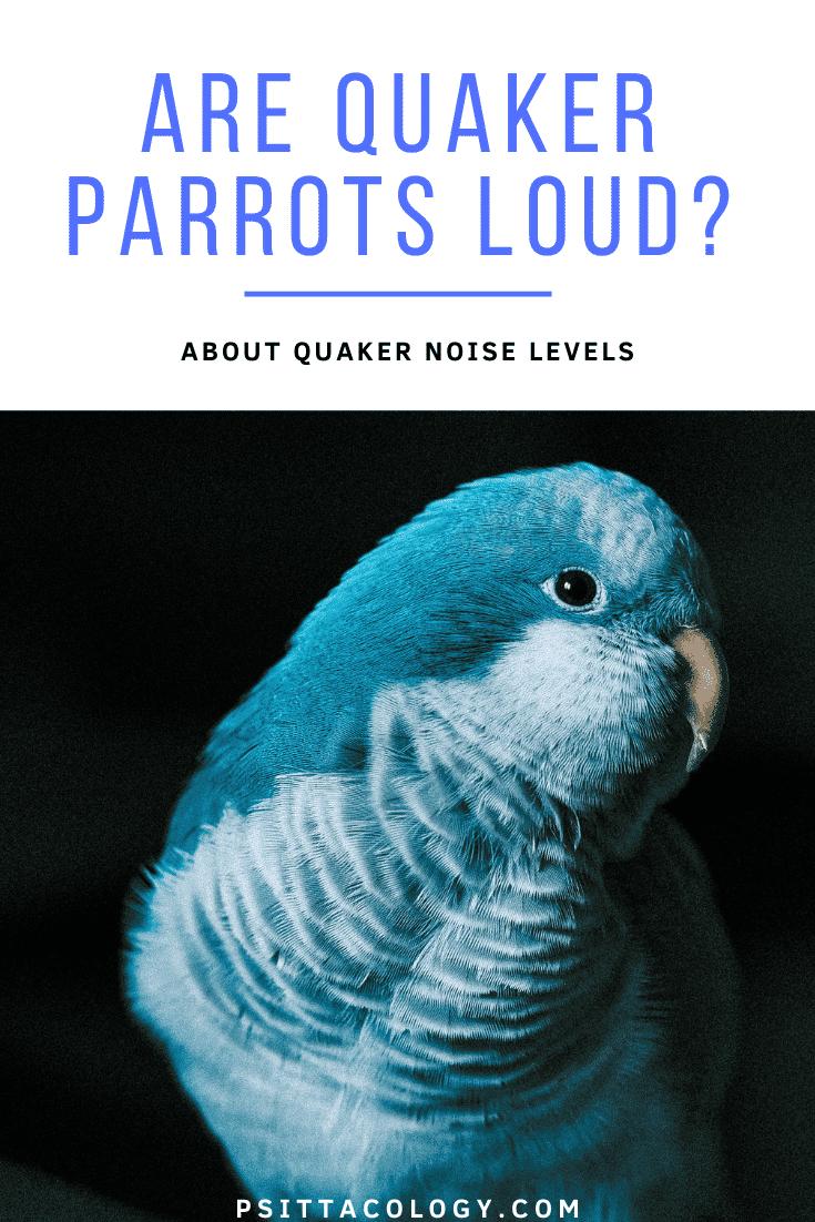 Headshot of blue quaker parrot. | Are quaker parrots loud?