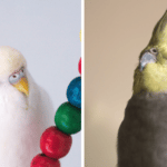 Side by side images of albino male budgie (left) and male cockatiel (right) | Budgie vs cockatiel: Find the bird for you