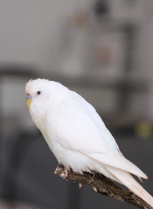 Budgie (Melopsittacus undulatus)   Types of pet parrots