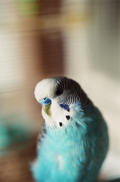 Male blue and white budgie parakeet, shallow focus.