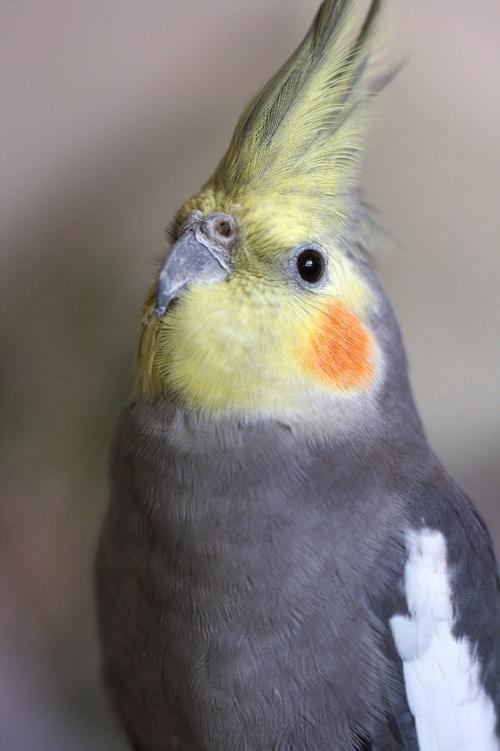 Cockatiel (Nymphicus hollandicus)   Types of pet parrots