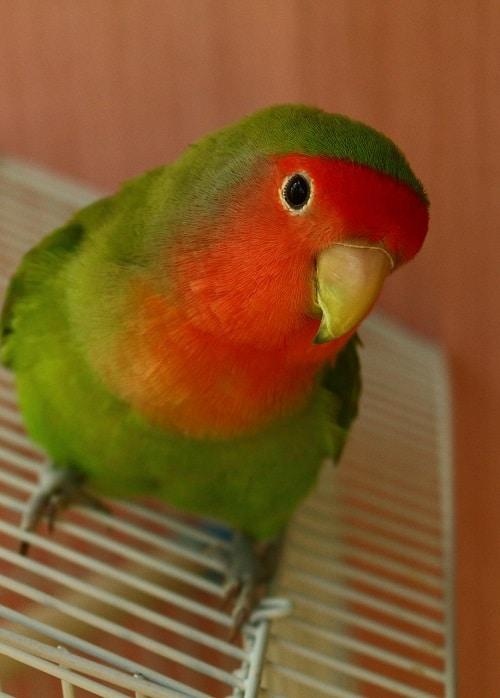 Peach faced lovebird (Agapornis sp.)   Types of pet birds