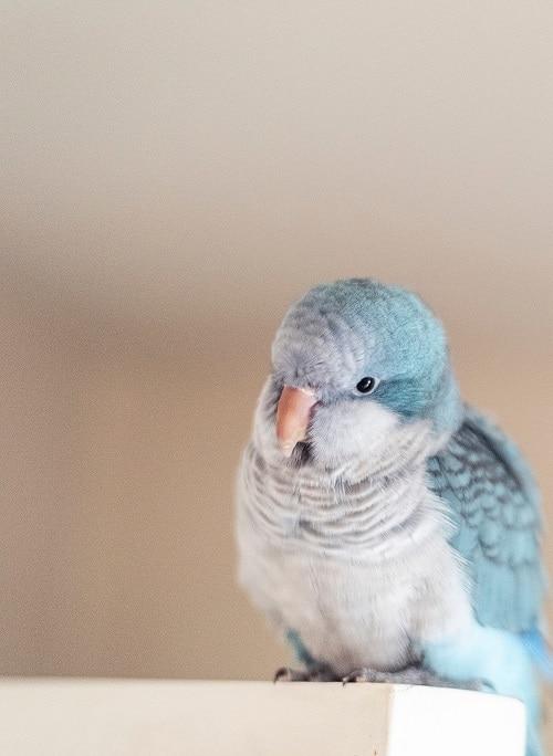 Quaker parrot (Myiopsitta monachus)   Types of pet birds