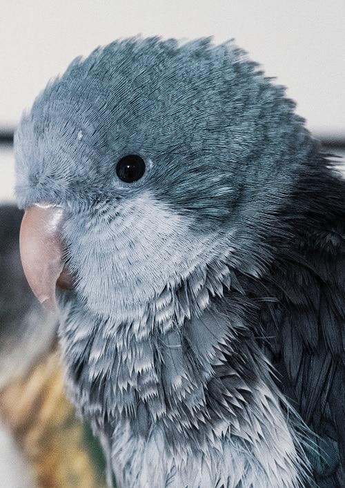 Close-up headshot of blue quaker parrot (Myiopsitta monachus)