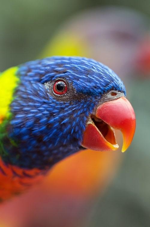Rainbow lorikeet (tribe Loriini)   Types of pet parrots