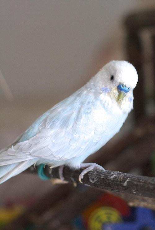 Light blue male budgie perched on stick | 9 quiet pet birds
