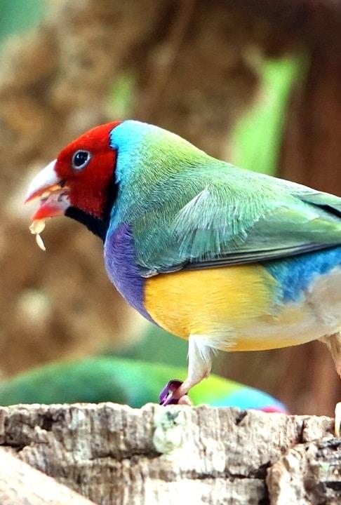 Gouldian finch | 9 quiet pet birds