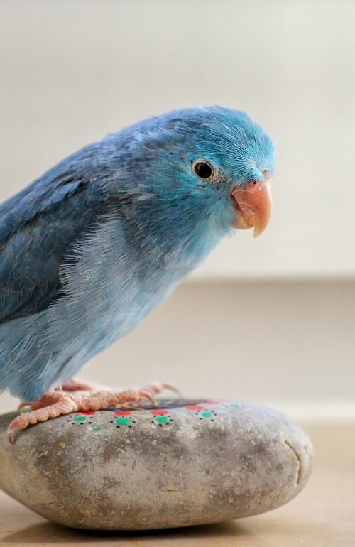Blue parrotlet (Forpus sp.) sitting on small painted rock.